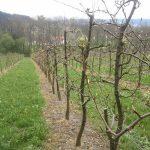 Birnbaumreihe der Williamsbirne